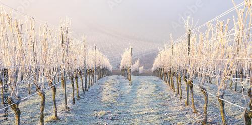Foto  Winter und morgendlicher Bodenfrost im Weinberg