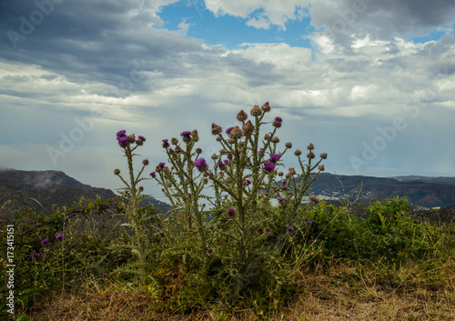 Keuken foto achterwand Zwavel geel Cirsium arvense flowers, Costa Brava, El Port de la Selva