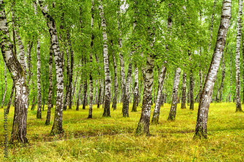 Fototapeta Birch grove on a sunny summer day, summertime landscape obraz na płótnie