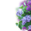 Fresh lilac flowers with green leaves close up border isolated on white background