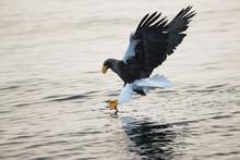 Riesenseeadler Beim Fischfang