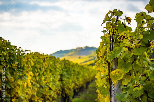 Fotobehang Wijngaard Romatic yellow vineyards during autumn in Rheinhessen