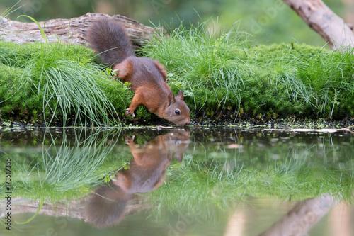 Obraz na dibondzie (fotoboard) Picie wiewiórki
