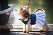 A Dog In Fashion Clothes Walks On The Pier