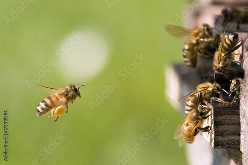 Poster Bee Am Bienenstock