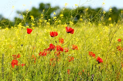 Plakat Pole czerwoni maczki i żółty canola w jaskrawym świetle przy wiosną