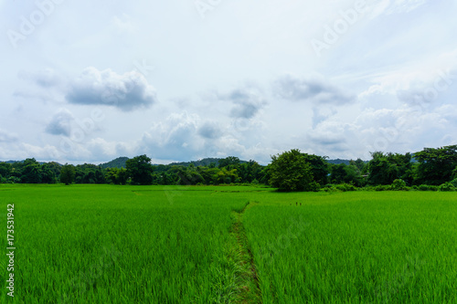 Spoed Foto op Canvas Groene panorama landscape of rice field with blue sky and cloud and tree background.