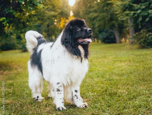 Stampa su Tela Beautiful newfoundland dog in the park.