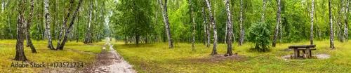 brzozowy-gaj-z-droga-i-lawka-w-sloneczny-letni-dzien-ogromna-panorama