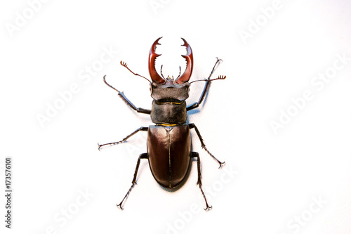 Fotografía  Male Reddish-brown Stag Beetle. Lucanus capreolus.