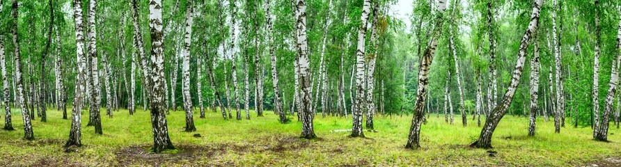 Panel SzklanyBirch grove on a sunny summer day, landscape banner, huge panorama