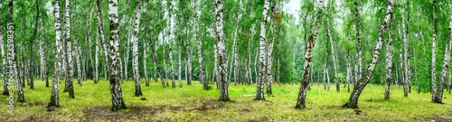 Foto op Aluminium Lime groen Birch grove on a sunny summer day, landscape banner, huge panorama