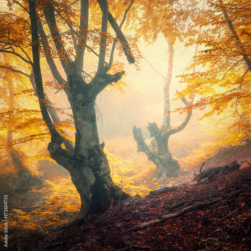 Autumn forest in fog. Colorful landscape with beautiful enchanted trees with orange and red leaves on the branches. Amazing scene with trail and mystical foggy forest. Fall colors. Fairy wood. Nature