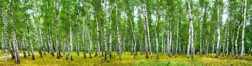 Photo sur Aluminium Foret Birch grove on a sunny summer day, landscape banner, huge panorama