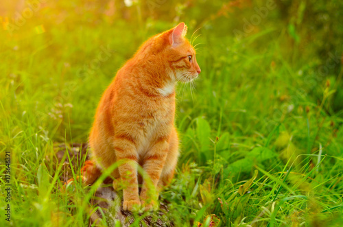 Fototapety, obrazy: Cat outdoors on summer sunny day. Red cat sitting on a log in the grass