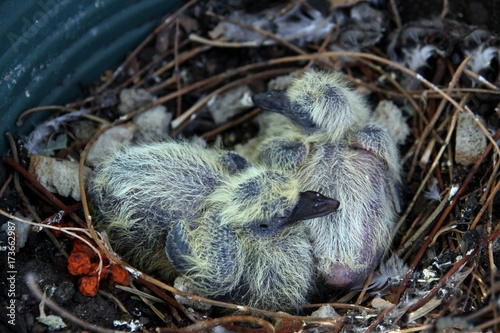 very young nestlings of pigeon