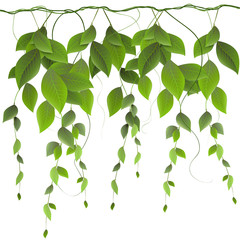 Naklejkafoliage on a white background, climbing plants, creepers, vector