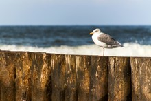 Seagull Sitting On A Wooden St...