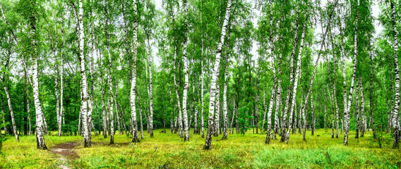 Fototapeta Birch grove with a road on sunny summer day, summertime landscape