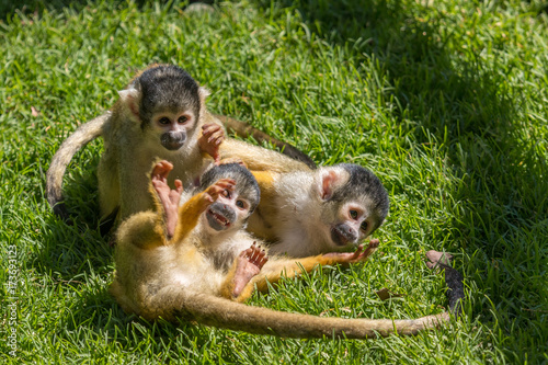 Monkeys - Squirrel Monkeys Wallpaper Mural