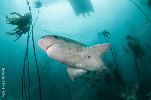Poster Dolfijnen Seven gill shark swimming among the kelp forests of False Bay, Cape Town, South Africa.