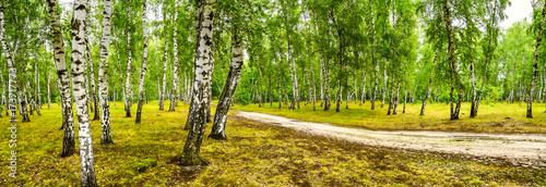 brzozowy-gaj-z-droga-w-sloneczny-letni-dzien-sztandar-krajobrazowy-ogromna-panorama