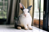 Fototapeta Zwierzęta - Grey bunny rabbit looking frontward to viewer, Little bunny sitting on white desk, Lovely pet for children and family.