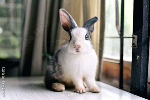 Fotografie, Obraz  Grey bunny rabbit looking frontward to viewer, Little bunny sitting on white desk, Lovely pet for children and family