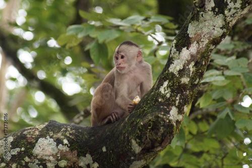 Photo Capuchin Monkey with Fruit