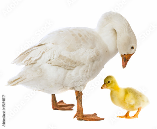white goose and gosling (Anser anser domesticus) isolated on a white background