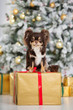 canvas print picture brown chihuahua dog sitting on a gift box