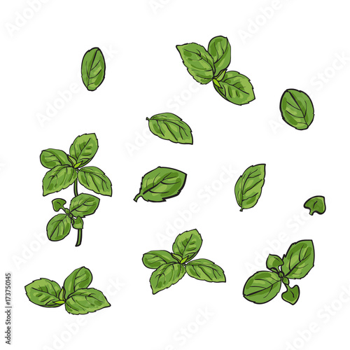 Obraz na plátně Hand drawn set of basil leaves, single and twigs, sketch style vector illustration isolated on white background