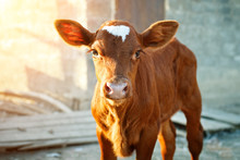 Young Calf At An Agricultural ...