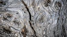 Ants On Bark Of Olive Tree
