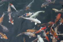 Colorful Koi Fish Swimming In The Pond On A Cloudy, Rainy Day
