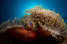 Clown Fish In Red Anemone