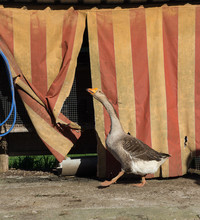 Goose With A Stripes Shed Behind