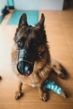 Wounded German Shepherd In Pet...