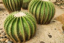 Golden Ball Cactus(Echinocactus Grusonii) In The Desert Garden