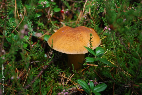 Suillus variegatus (velvet bolete or variegated bolete) grow in the forest.