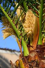 Phoenix Roebelenii (Pygmy Date Palm) Flowers