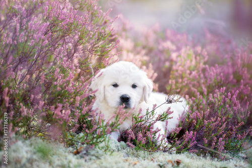 Obraz golden retriever puppy lying on a heath field - fototapety do salonu