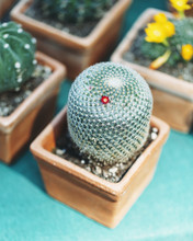 Tiny Red Flower Blossoming On Cactus In Pot