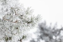 White Winter Detail Of Frost Covered Evergreen Tree