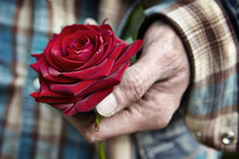 A Man`s Hand Holding A Red Rose
