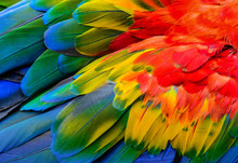Close Up Of Scarlet Macaw Bird...