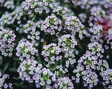 Detail Of Tiny White Flowers G...