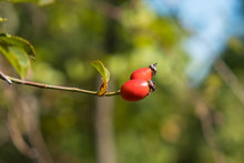 Two Wild Rose Hips Closeup On ...