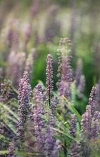Liriope Flowers In  Garden