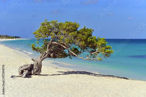 Photo  Aruba Divi Divi Tree